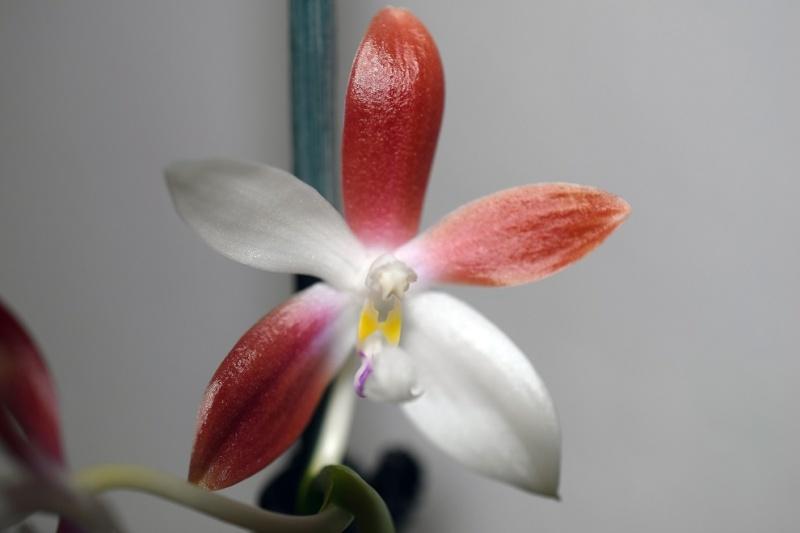 Phalaenopsis tetraspis - Seite 2 Phal_t15