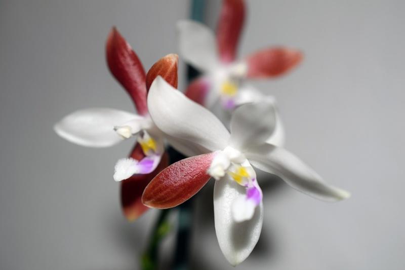 Phalaenopsis tetraspis - Seite 2 Phal_t16