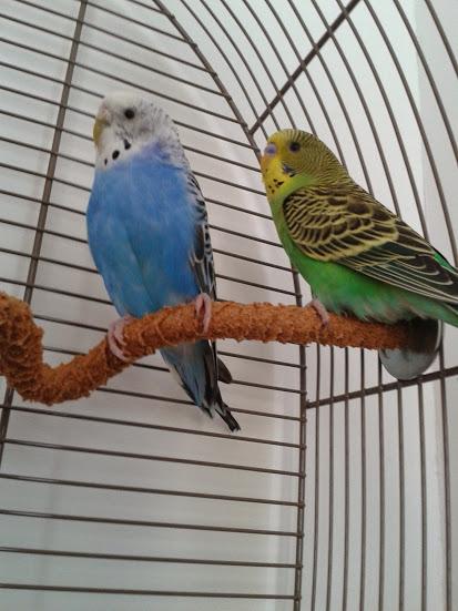 Cède jeune couple de perruches ondulées + cage 20150511