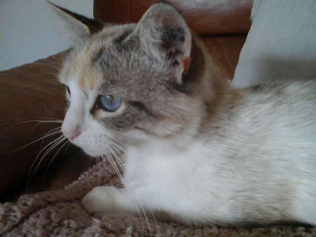 [Adoptée] Jolie, charmante croisée siamoise Img_0110