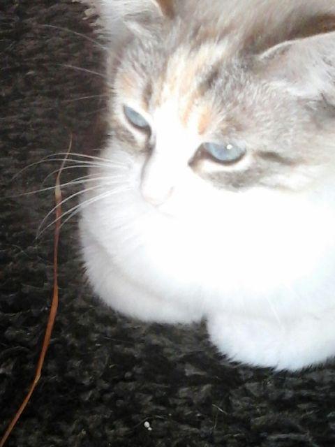 [Adoptée] Jolie, charmante croisée siamoise Img_0111
