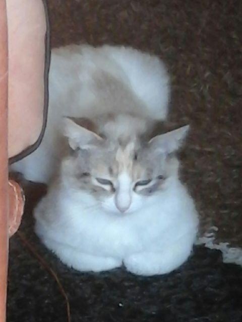 [Adoptée] Jolie, charmante croisée siamoise Img_0113