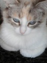 [Adoptée] Jolie, charmante croisée siamoise Img_0115
