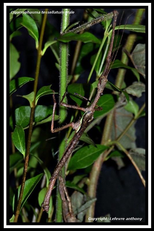 Cigarophasma tessulata (P.S.G n° 363) Cigarr10