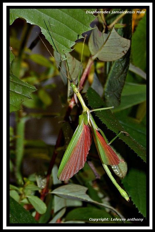 Diapherodes jamaicensis (PSG 214) Diaphe11