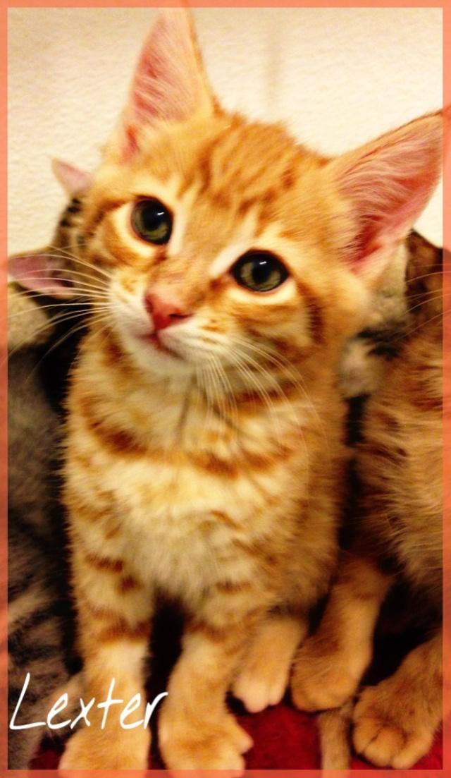 [Adopté] Lexter chaton Lexter10