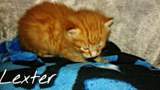 [Adopté] Lexter chaton Lexter13