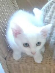 [Adopté] Lilywhite, une boule blanche de ronrons Liliwh10