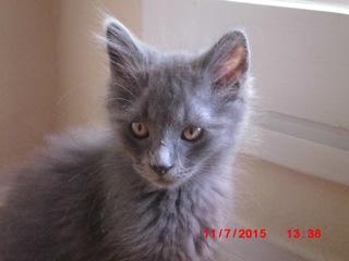 [Adopté] Limao, un chaton aimant tétouiller Limao_10