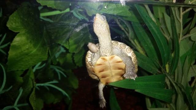 ma mauremys sinensis et son aquaterra 210