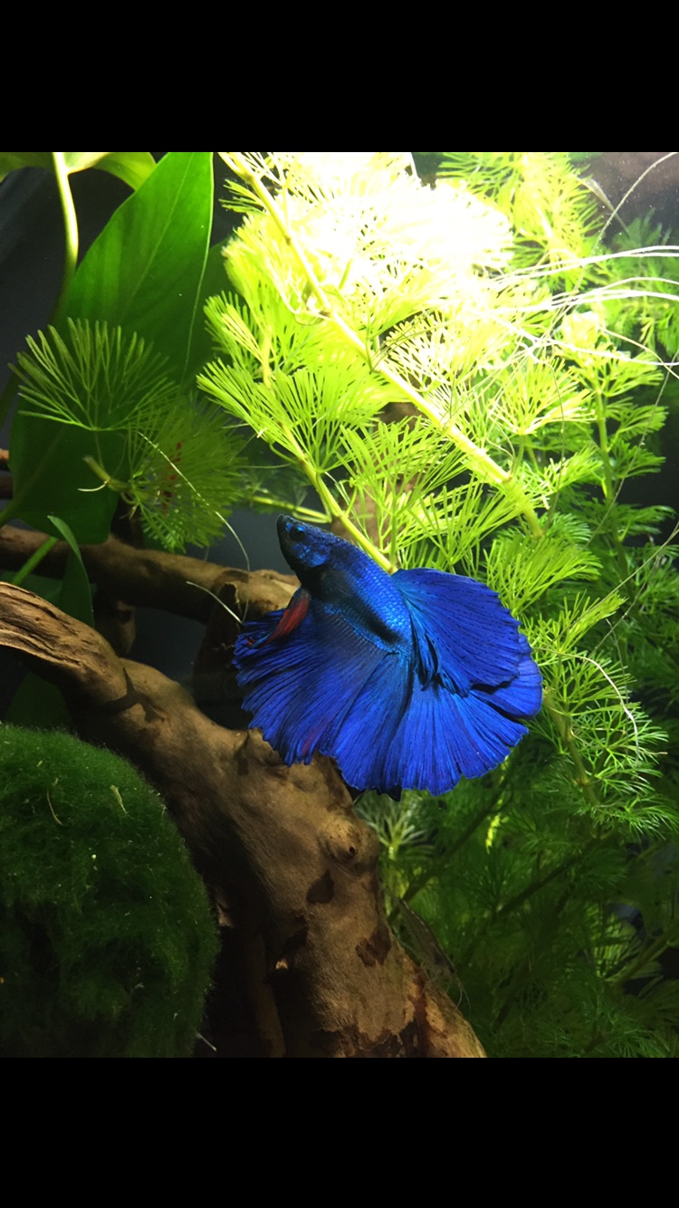 Petit Betta d'animalerie  Image21