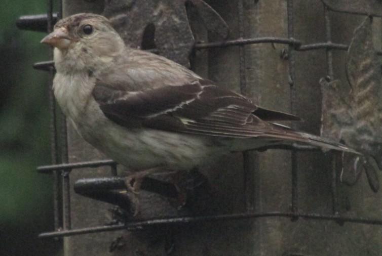 Quel est cet oiseau gris? Aout1310