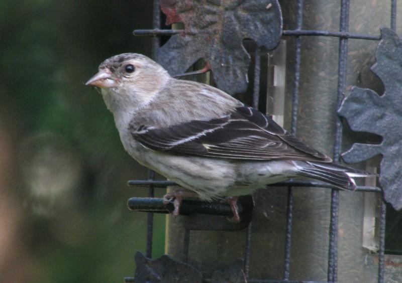 Quel est cet oiseau gris? Chardo10
