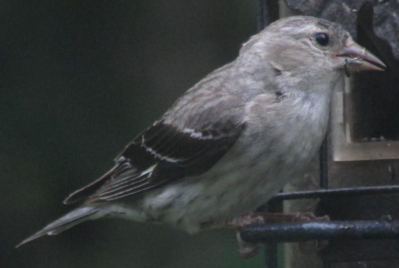 Quel est cet oiseau gris? X_08_013