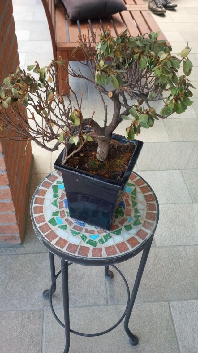 Azalea con foglie secche Azalea14