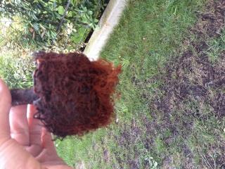 Azalea con foglie secche Image10