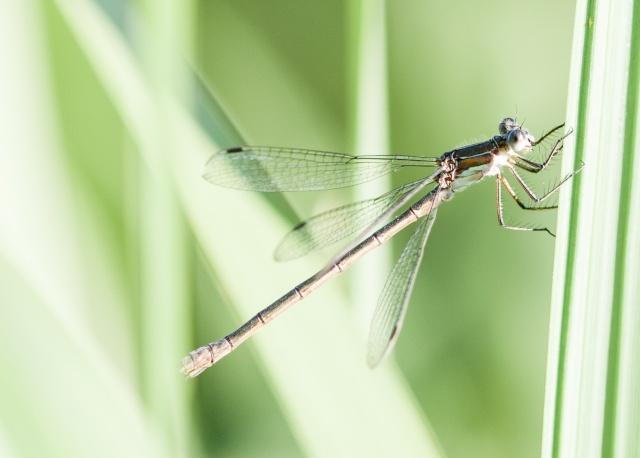 Lestidae femelle Img_9111