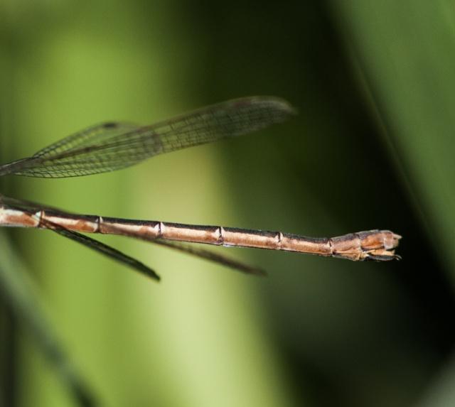 Lestidae femelle Img_9112