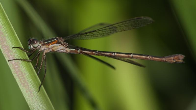 Lestidae femelle Img_9113