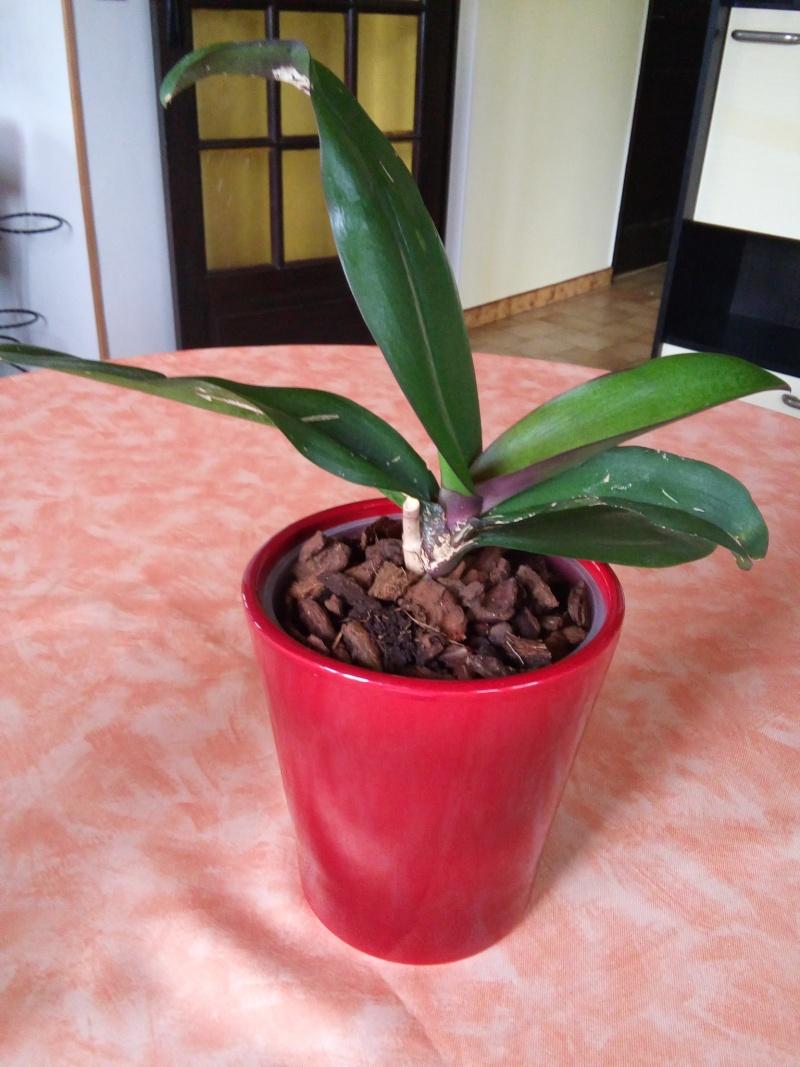 [Qu'est ce qui ne va pas ??] Trous dans les feuilles d'un Phalaenopsis 20150812