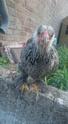 Mes 4 poulettes brahmas 11866210