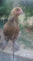 Mes 4 poulettes brahmas 11889410