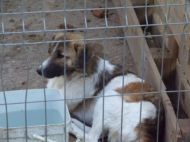 SPIROU, mâle né en 2014 sauvé d'Oltenita - parrainée par Les 3 Loulous -R-SOS-SC 11330010