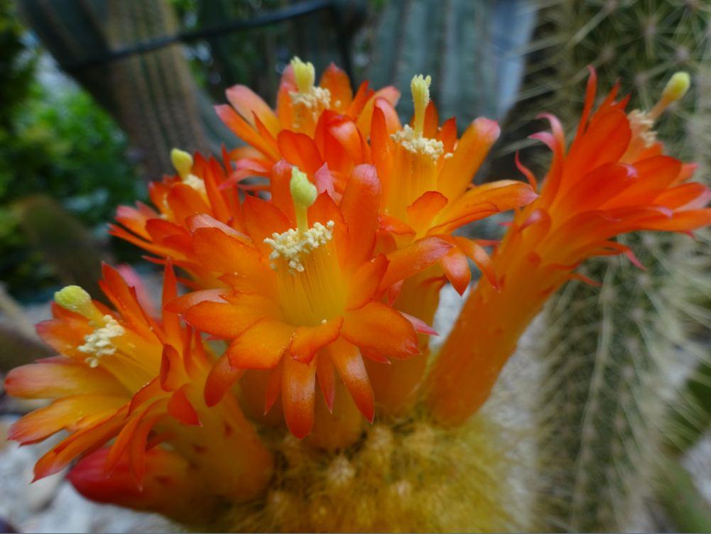 Cleistocactus icosagonus Dsc05019