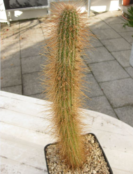 Cleistocactus hildegardiae Nr095_10