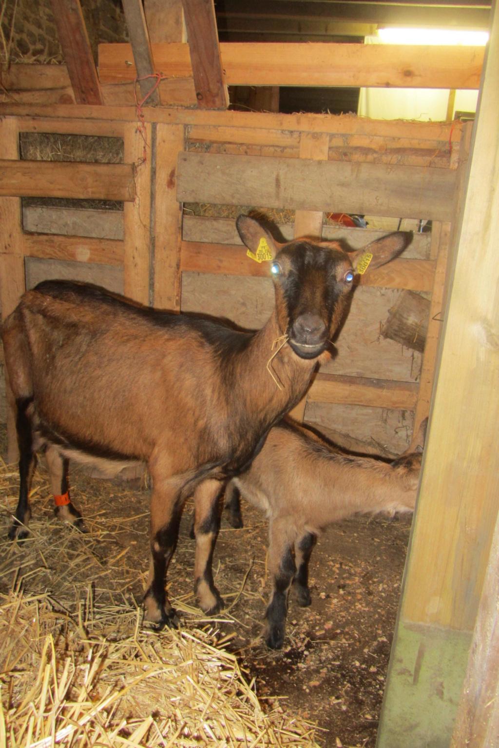 INNOCENTE & PRUNELLE - Chèvres alpines Img_4010