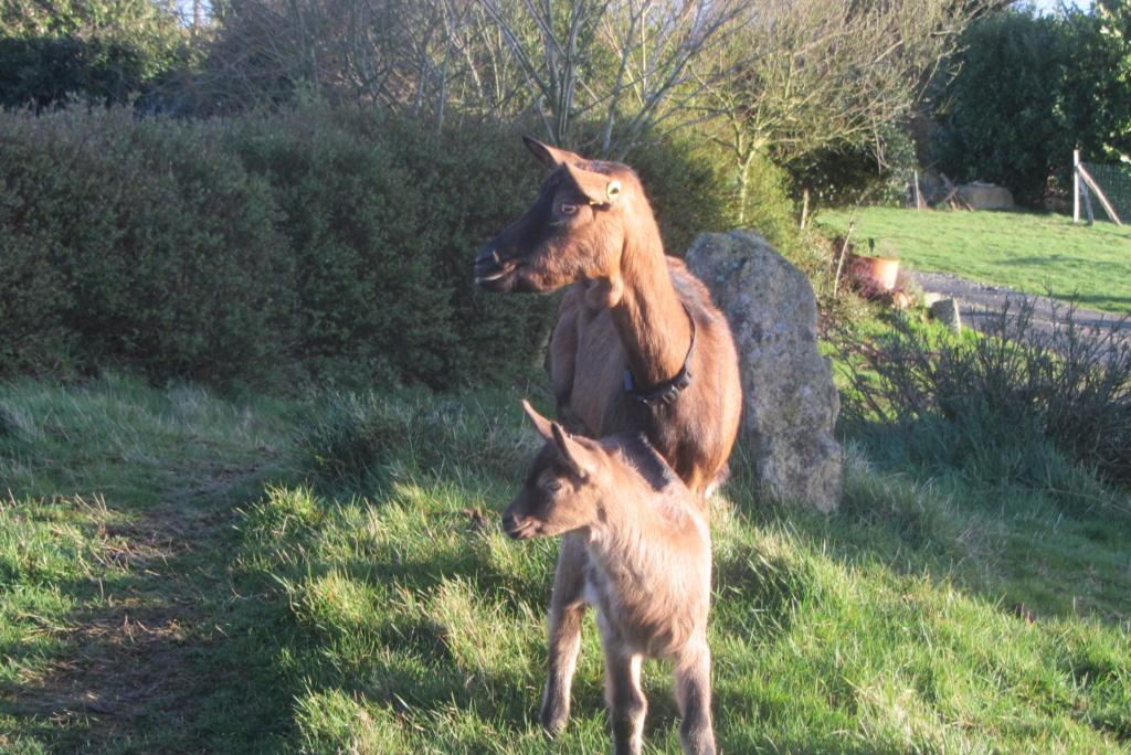 INNOCENTE - Chèvre réformée d'élevage Img_4116