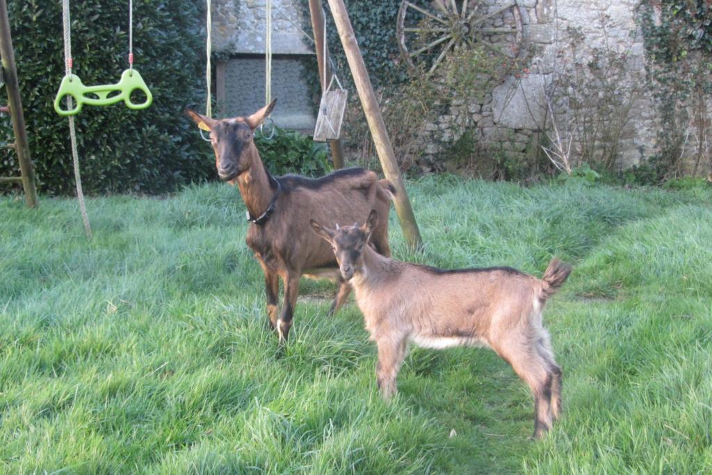 INNOCENTE & PRUNELLE - Chèvres alpines Img_4118