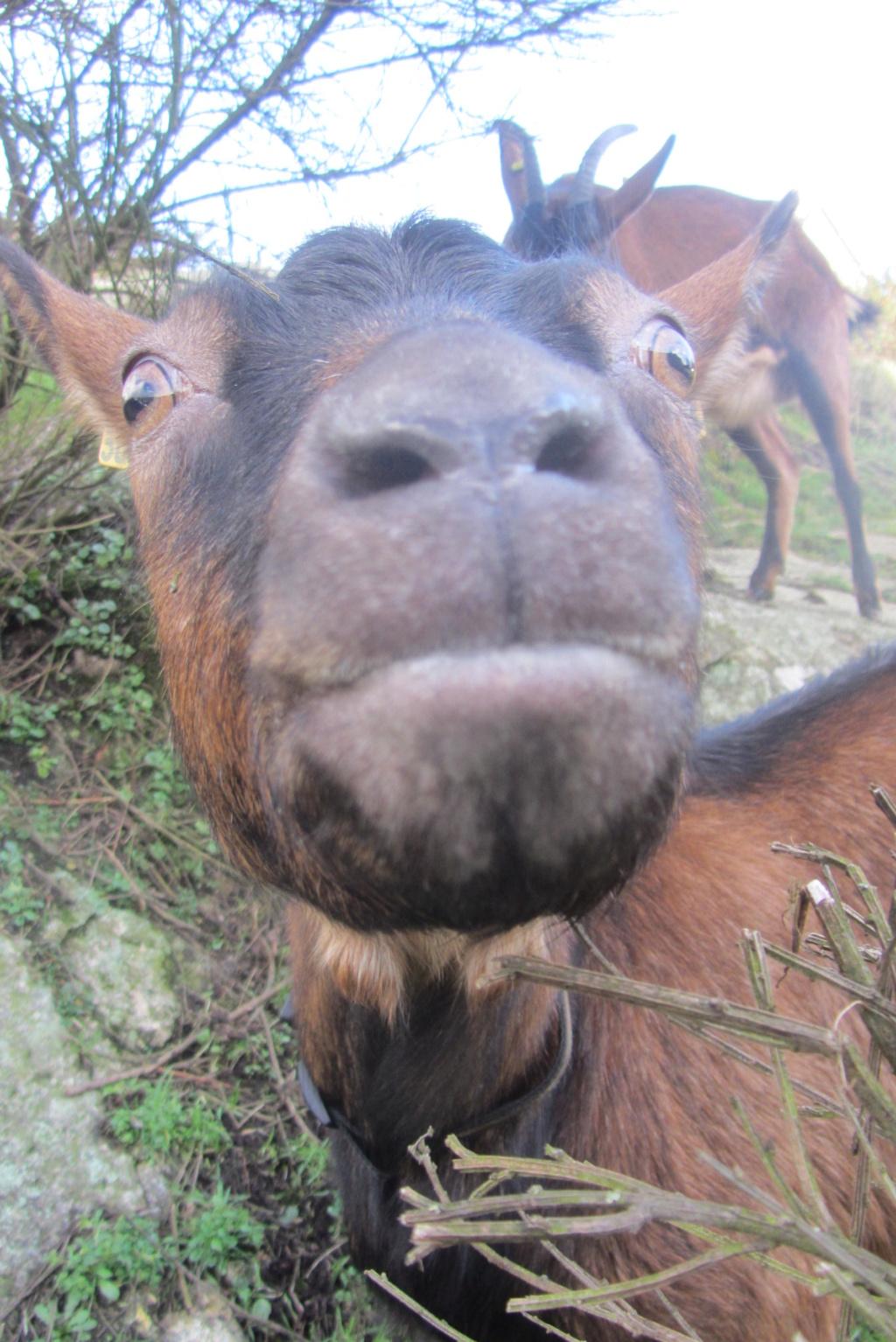 INNOCENTE & PRUNELLE - Chèvres alpines Img_6510