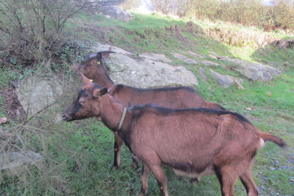 INNOCENTE & PRUNELLE - Chèvres alpines Img_6511