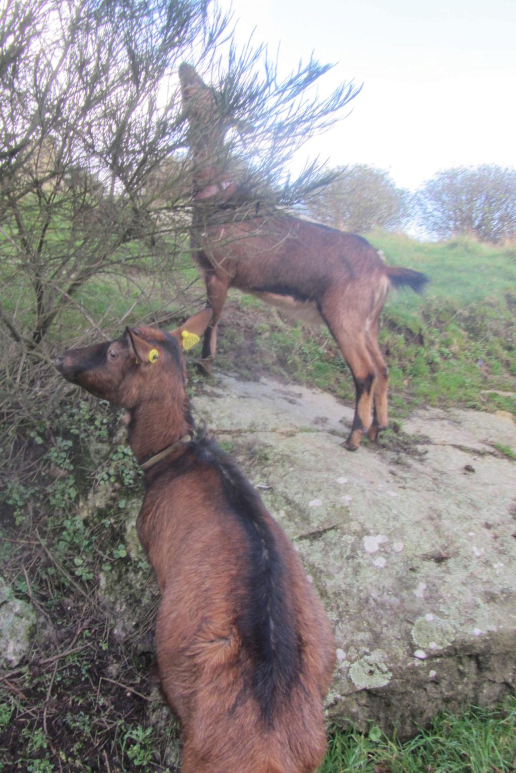 INNOCENTE & PRUNELLE - Chèvres alpines Img_6512
