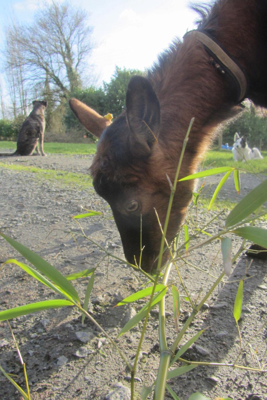 INNOCENTE & PRUNELLE - Chèvres alpines Img_6513