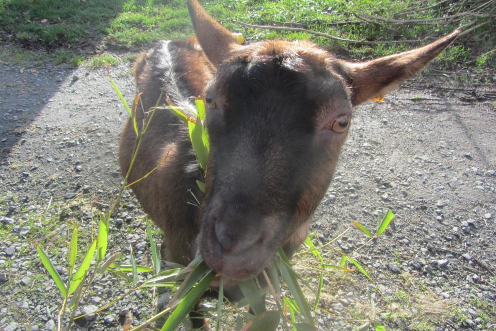 INNOCENTE & PRUNELLE - Chèvres alpines Img_6515
