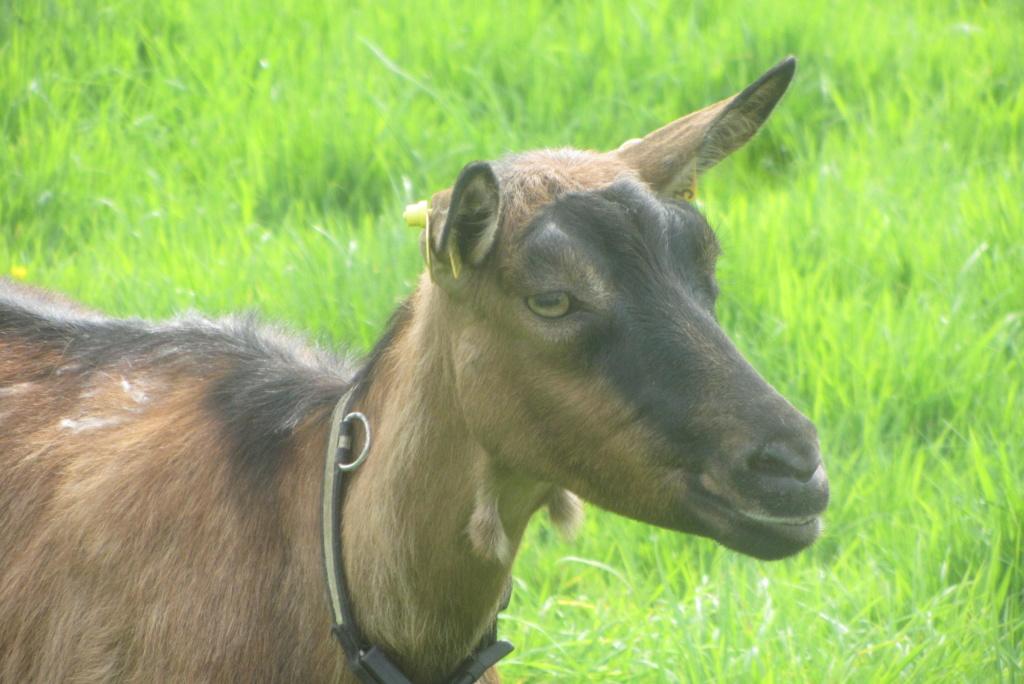 INNOCENTE & PRUNELLE - Chèvres alpines Img_7511