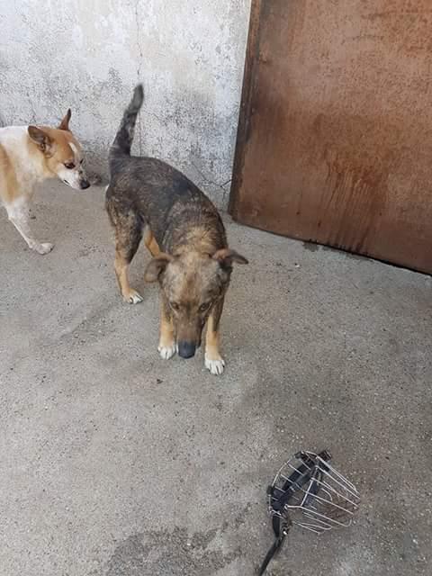 YANOU, M-X, Né 2012, 12 kg (ORASTIE/RUE) - Son maitre voulait le tuer - A disparu - Fb_img26