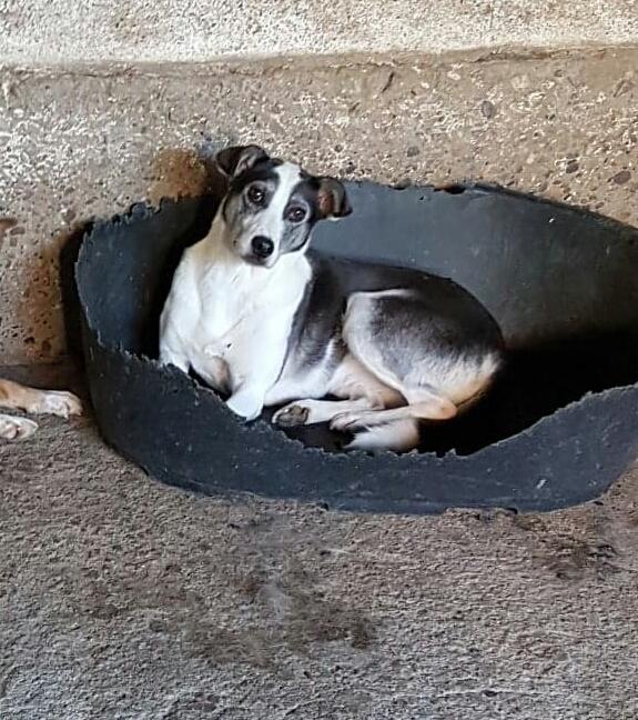 SOURY F-X, Née 2014 taille moyen 12 KG (ORASTIE/RUE)- Une très jolie chienne timide - - Page 2 Rece3972
