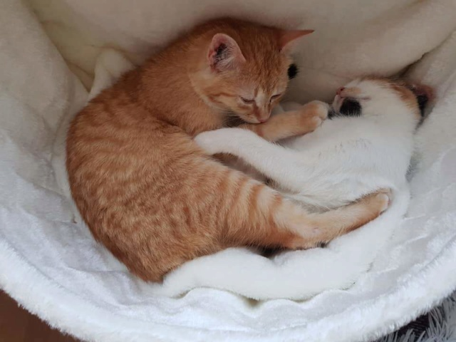 ROUKY , chaton , tigrée-Roux , F-X , née sept 2018 (ORASTIE) -  mignon et timide-Réservé Allemagne Rece4100
