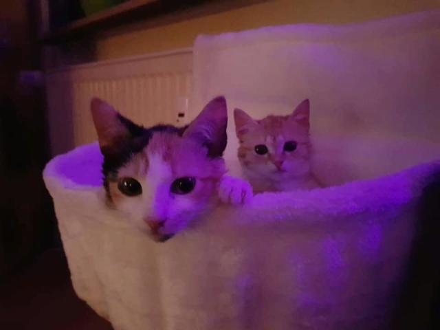 ROUKY , chaton , tigrée-Roux , F-X , née sept 2018 (ORASTIE) -  mignon et timide-Réservé Allemagne Rece4102