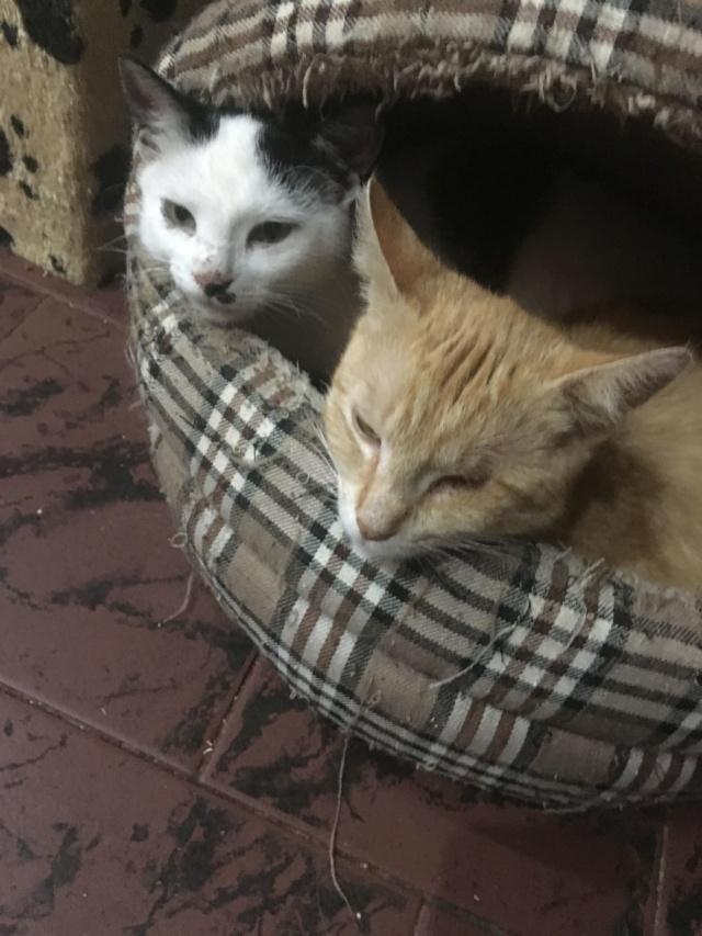 KITTY, Chatte, née  2017 (ORASTIE) Très gentille chatte blessée - en FALD chez TANIA (depart03) Recei227