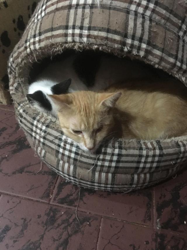 KITTY, Chatte, née  2017 (ORASTIE) Très gentille chatte blessée - en FALD chez TANIA (depart03) Recei228