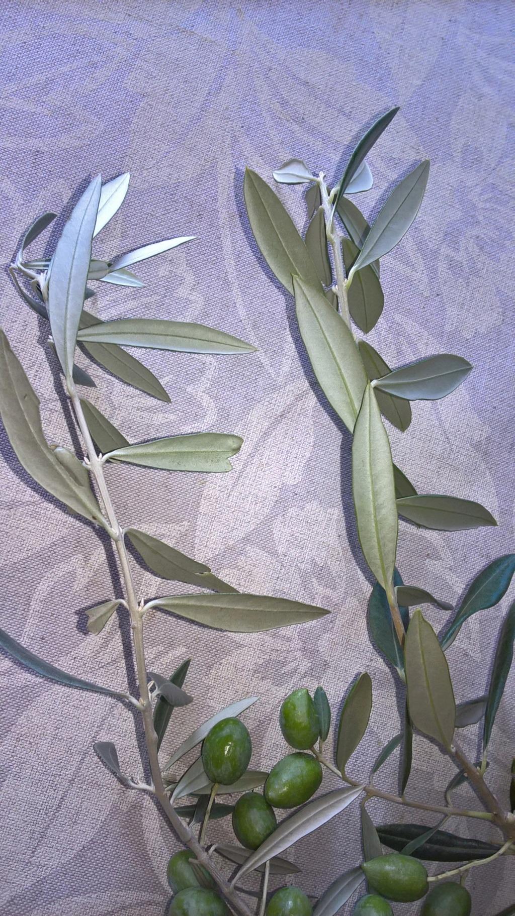 ¿Qué variedad son estos olivos? (Croacia) Wp_20115