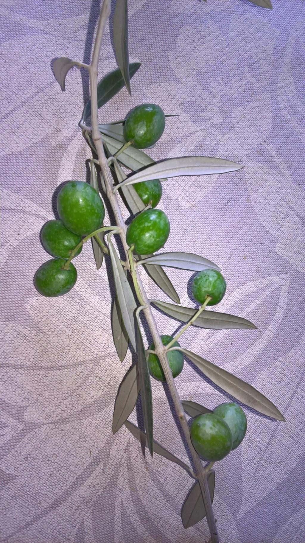¿Qué variedad son estos olivos? (Croacia) Wp_20116