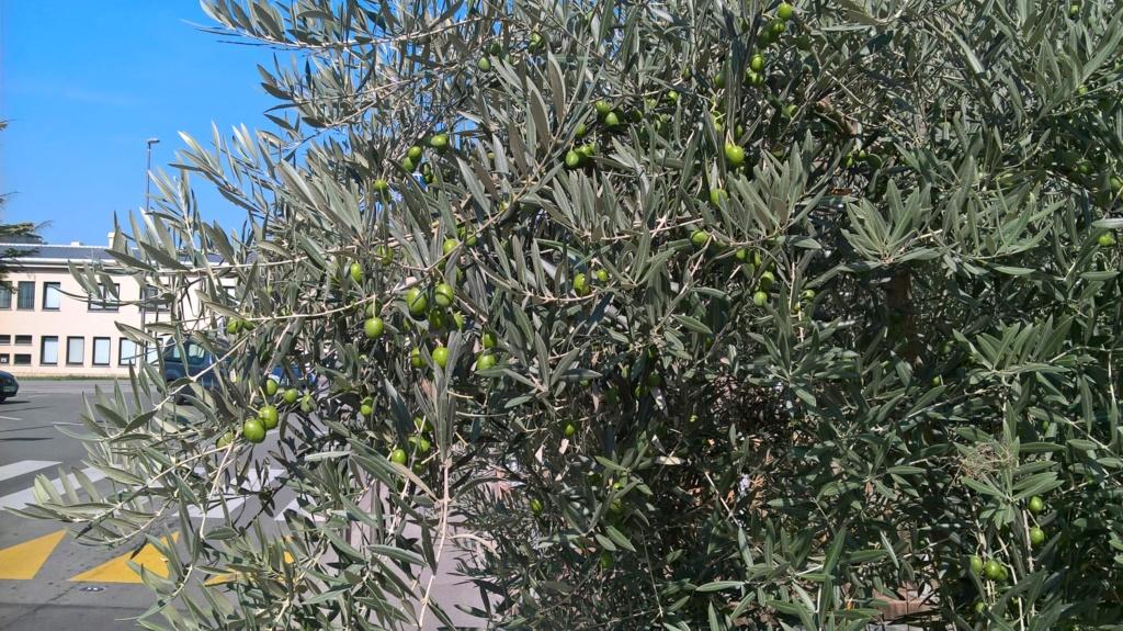 ¿Qué variedad son estos olivos? (Croacia) Wp_20120
