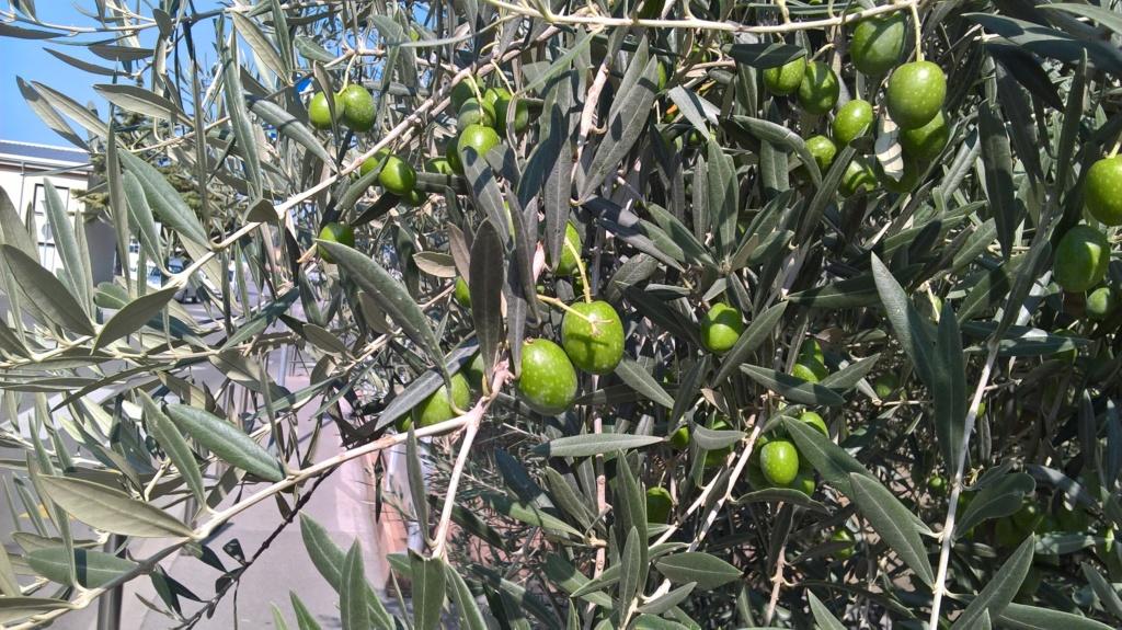 ¿Qué variedad son estos olivos? (Croacia) Wp_20123