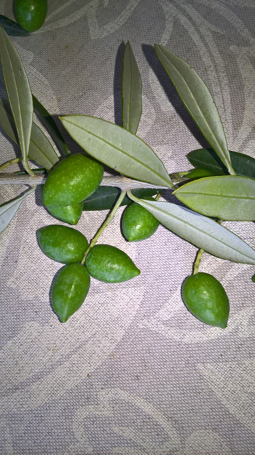 ¿Qué variedad son estos olivos? (Croacia) Wp_20125