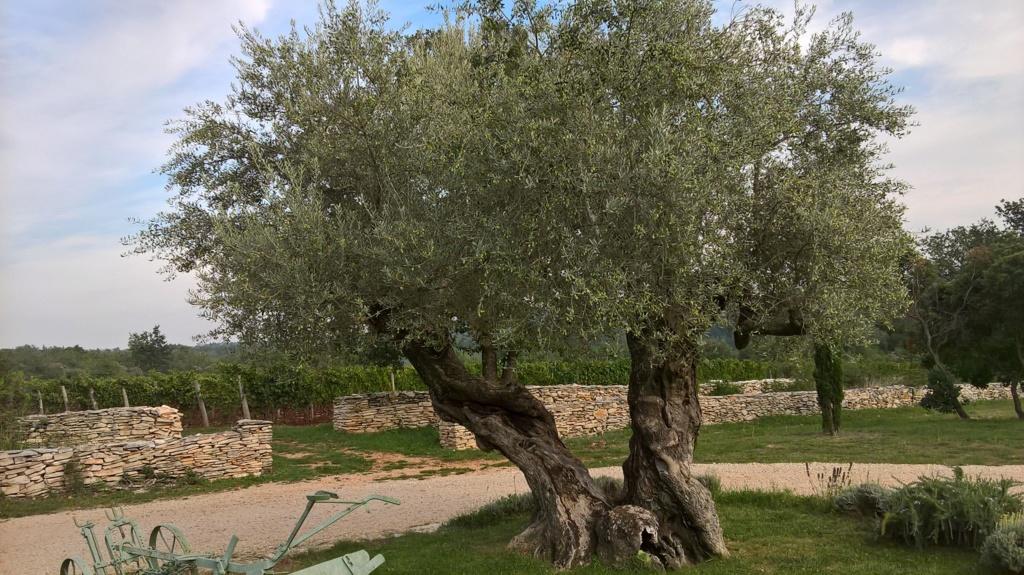¿Qué variedad son estos olivos? (Croacia) Wp_20128
